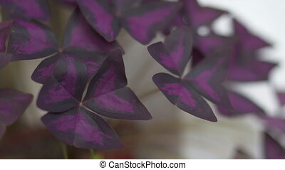 House plant False Purple Shamrock or Oxalis Triangularis...