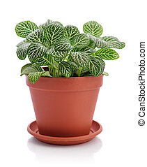 House plant Fittonia in flower pot isolated on white ...