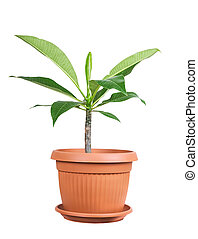 House plant - Frangipani as a house plant isolated on white ...