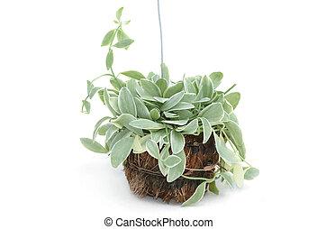 House plant hanging on white background