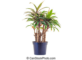 house plant in a pot isolated on white