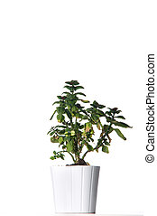 House plant in a white pot.