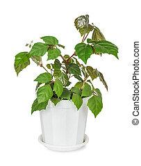 Parthenocissus Inserta - House plant Parthenocissus Inserta...