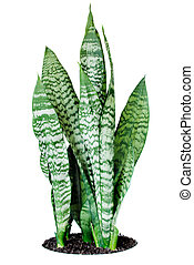 House plant Sansevieria on a white background