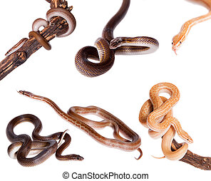 House Snakes set on white
