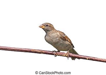 House Sparrow - A house sparrow leans forward on a tree ...