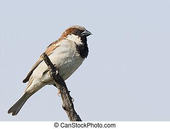 House Sparrow against a blue sky