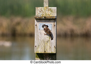 House sparrow and birdhouse