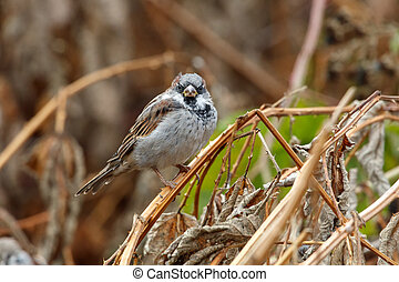 house sparrow bird