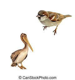 House Sparrow, Brown Pelican