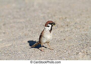 house sparrow catching a grasshopper - house sparrow ( ...