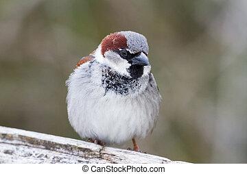 House Sparrow close up shot, BC Canada