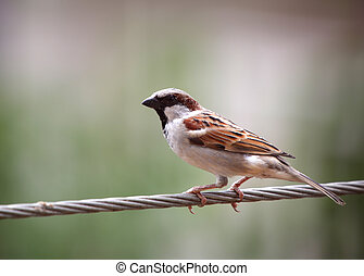 House Sparrow - Close up shot of beautiful house sparrow