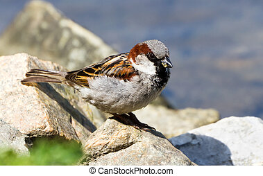 House Sparrow close up shot