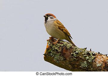 House sparrow closeup profile portrait