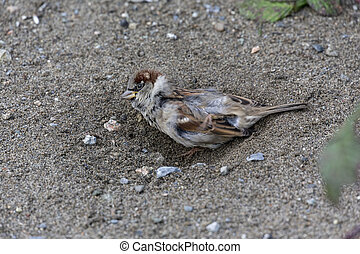 house sparrow dust bathing