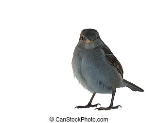 Female House Sparrow, Passer domesticus, in front of white background