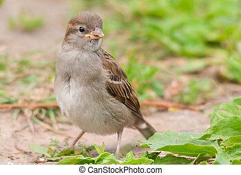 House sparrow - Female house sparrow (Passer domesticus)