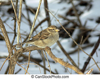 House Sparrow Female On Branch