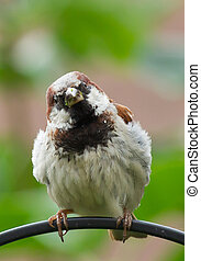 House sparrow on a perch