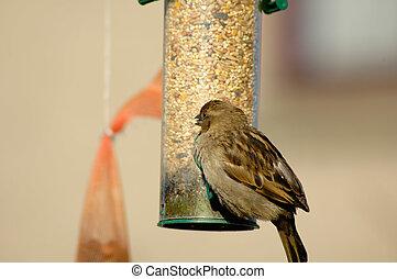 House Sparrow - House sparrow on feeder