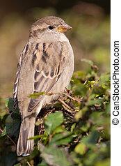 House sparrow in a bush
