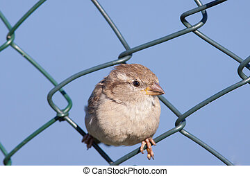 House Sparrow in a fence