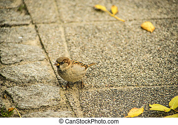 house sparrow in a pedestrian area