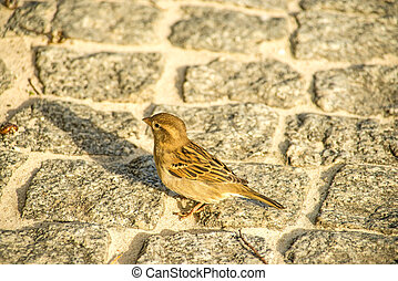 house sparrow in a pedestrian area