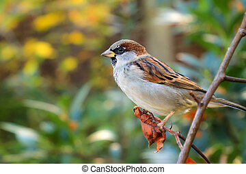 House Sparrow in nature
