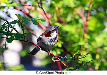 House Sparrow in rose bush.