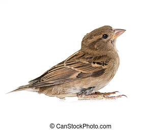 House sparrow in studio
