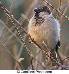House sparrow in sun - House sparrow balancing on small ...