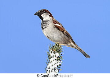 House Sparrow (Passer domesticus) perched on a snow covered Spruce Tree