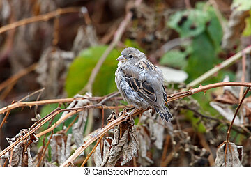 house sparrow juvenile