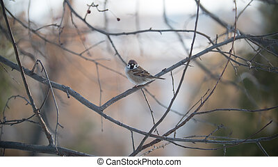 House sparrow on a tree branch at sunny winter day in park