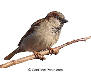 House Sparrow on branch, Passer domesticus, isolated on...