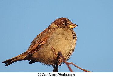 House Sparrow on branch