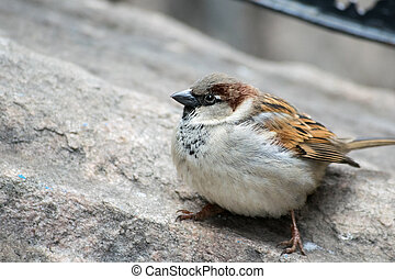 House Sparrow on Rock - A house sparrow on a rock about to ...