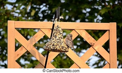 House Sparrow on seed bell 3 - House Sparrow (Passer...