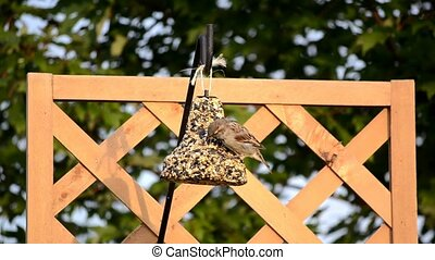 House Sparrow on seed bell 4 - House Sparrow (Passer...