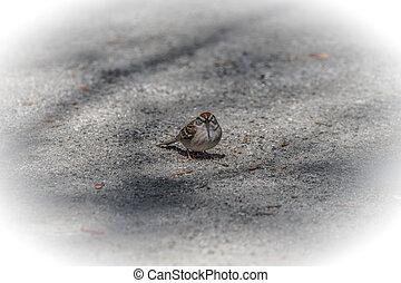House sparrow on the ground