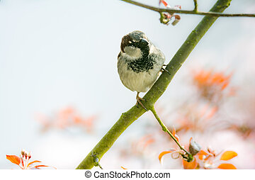 House sparrow (Passer domesticus) on the twig of a tree