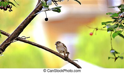 House Sparrow Passer domesticus bird in nature
