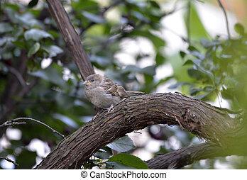 House Sparrow , Passer domesticus - House Sparrow ( Passer ...