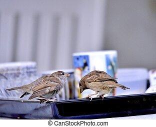 House Sparrow Passer domesticus - House Sparrow ( Passer ...