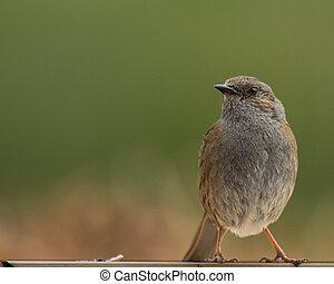 House sparrow (Passer domesticus) (Passeridae) - Europe ...
