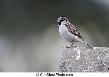 House sparrow, Passer domesticus, single male on roof, Warwickshire, May 2013