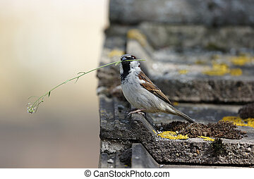 House sparrow, Passer domesticus, single male with nest material, Warwickshire, May 2013