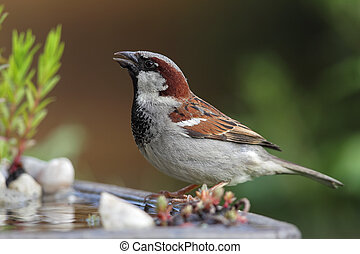 House Sparrow (Passer domesticus) drinking at a bird bath.